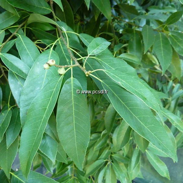 Quercus myrsinifolia 100/125 C4L