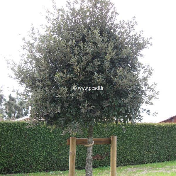 Quercus ilex C4L 40/60