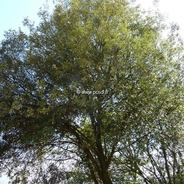 Quercus ilex C4L 60/80