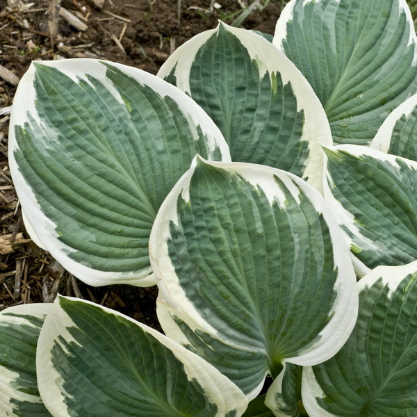 Hosta \'Barbara Ann\' C3L