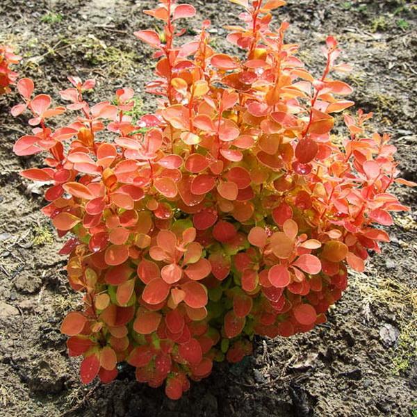 Berberis thunbergii \'Orange Ice\' ® 30/40 C4L