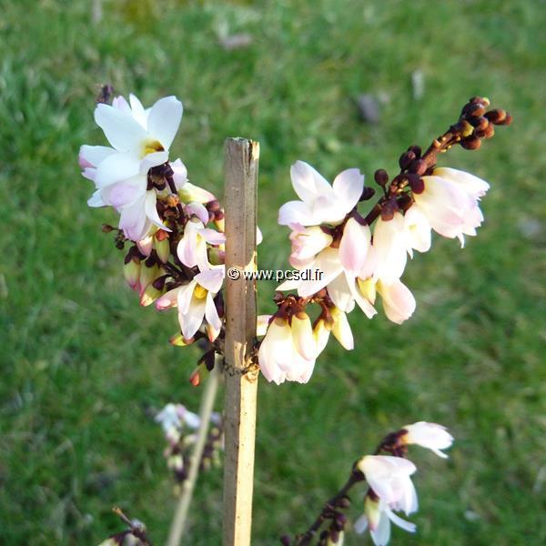 Abeliophyllum distichum \'Roseum\' C4L 40/60
