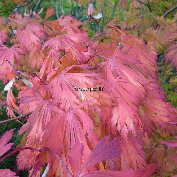 Acer japonicum f. aconitifolium C4L 30/40
