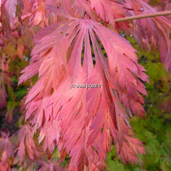 Acer japonicum f. aconitifolium C15L 40/60