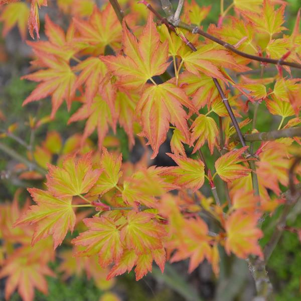 Acer palmatum \'Little Princess\' 30/40 C5L