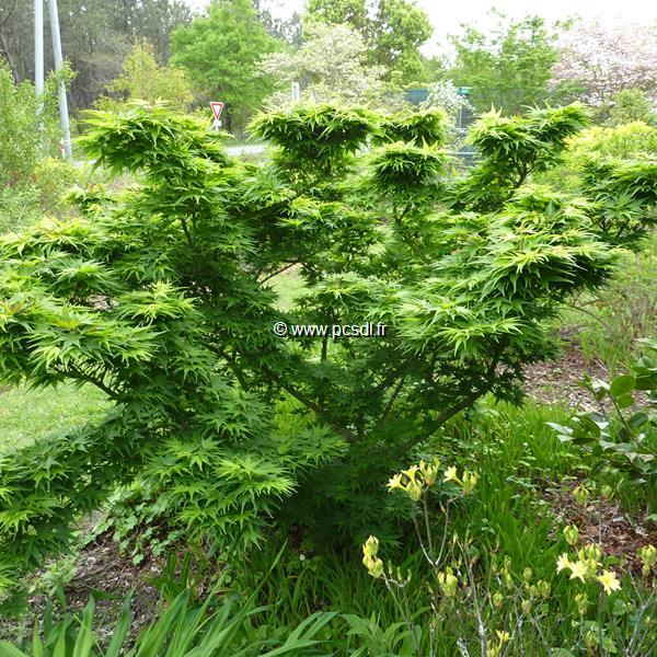 Acer palmatum \'Mikawa Yatsubusa\' C4L 30/40