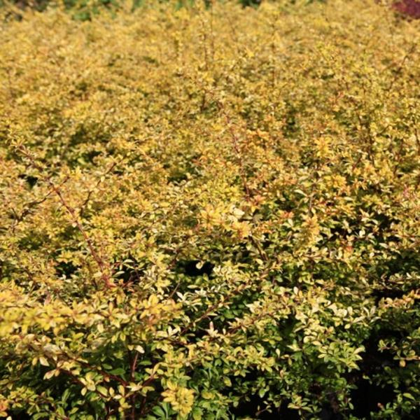 Berberis thunbergii \'Golden Dream\' ® C4L 30/40