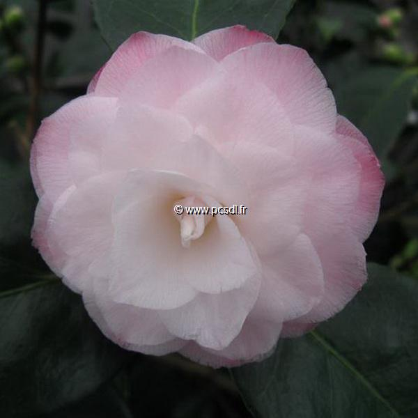 Camellia japonica \'Baby Pearl\' C30L 40/60