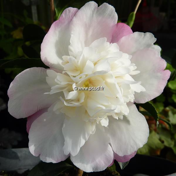 Camellia sasanqua \'Azakura\'