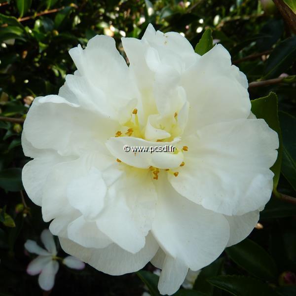 Camellia sasanqua \'Azakura\' C20L 80/100