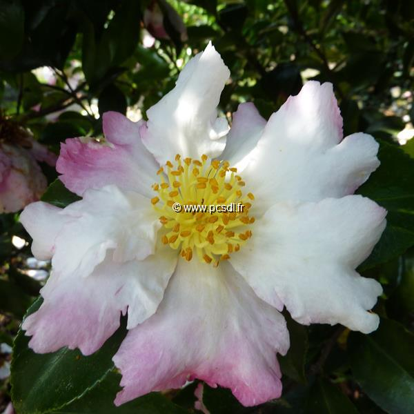 Camellia sasanqua Chantilly Rose (1)