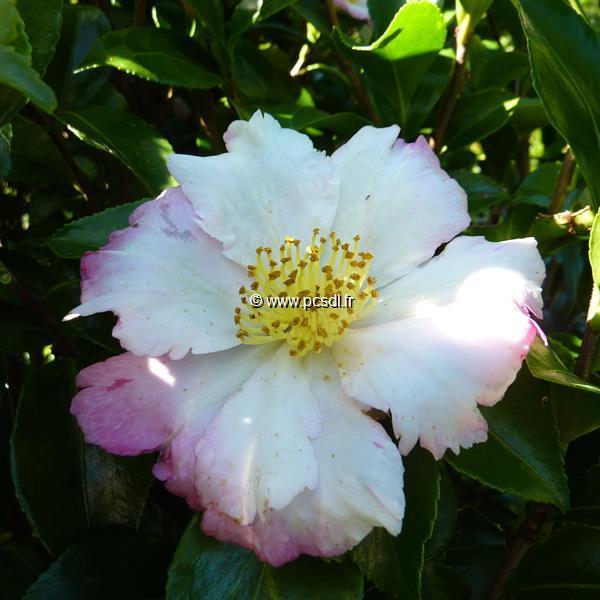 Camellia sasanqua \'Chantilly Rose\'