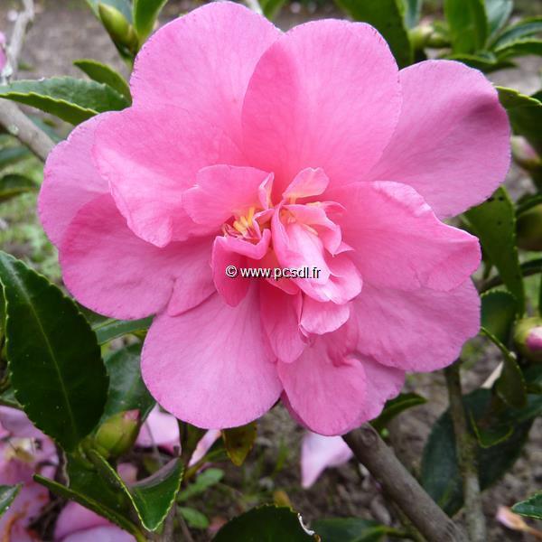 Camellia sasanqua \'Elfin Rose\' C7L 60/80
