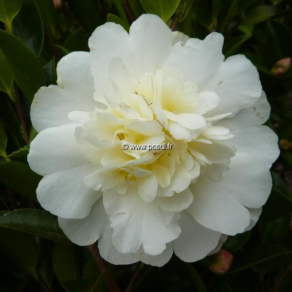 Camellia sasanqua \'Gay Sue\' C25L 80/100
