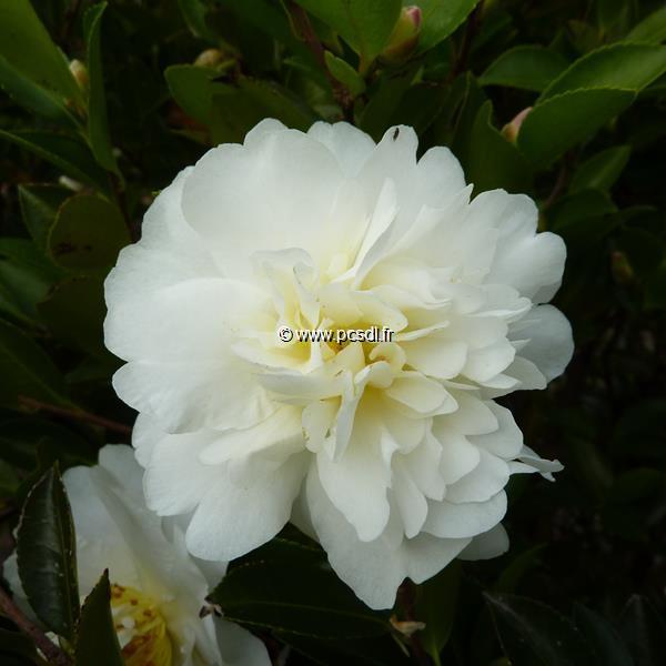 Camellia sasanqua \'Gay Sue\'