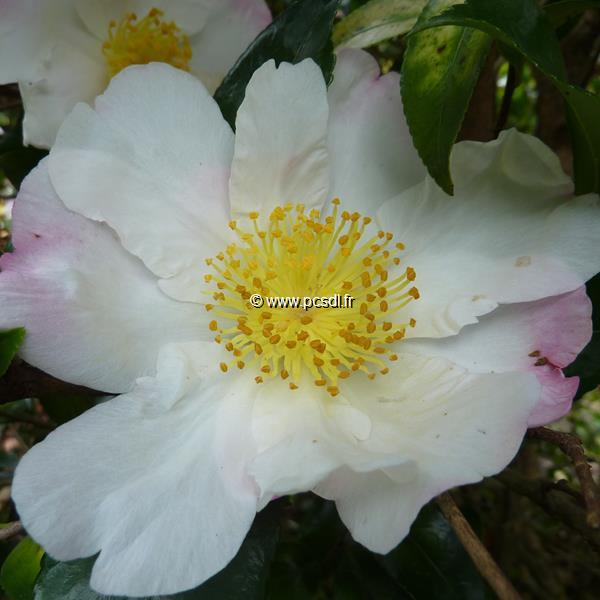 Camellia sasanqua \'Hana Jiman\'
