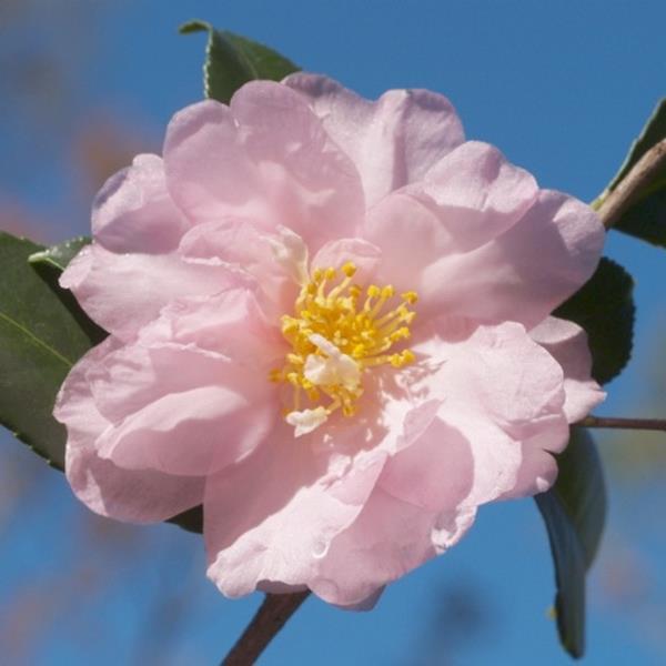 Camellia sasanqua var. hiemalis \'Winter\'s Interlude\' C7L 40/60