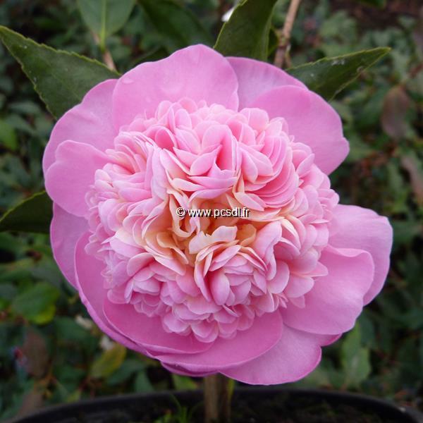 Camellia x oleifera \'Sugar Dream\'