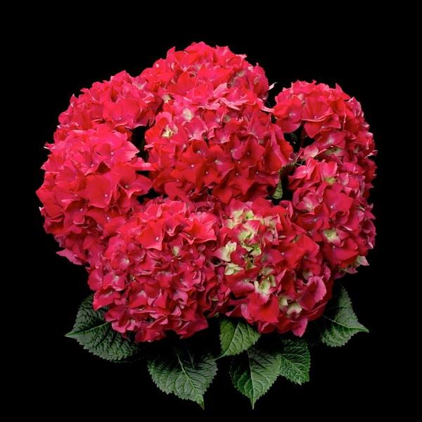 Hydrangea macrophylla \'Red Beauty\' ® C4L 20/40