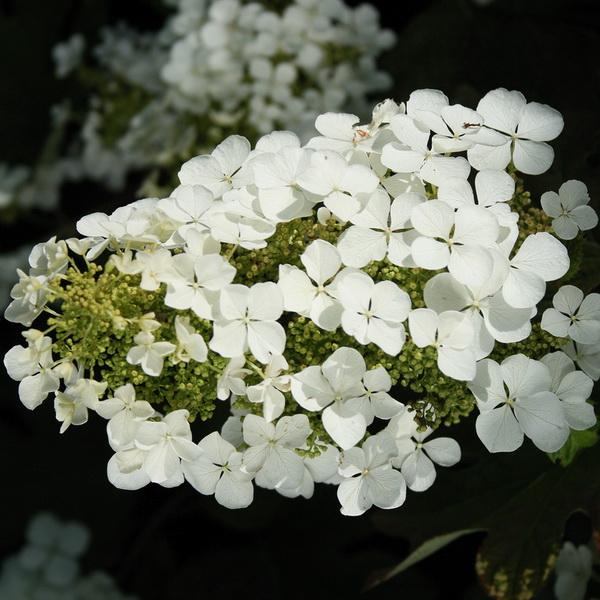 Hydrangea quercifolia \'Ice Crystal\' ®