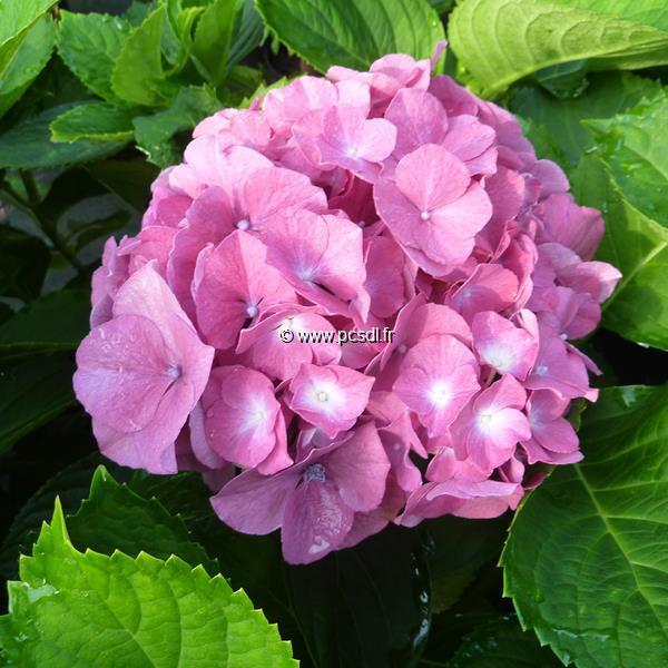 Hydrangea macrophylla \'Merlin\' C4L 20/40