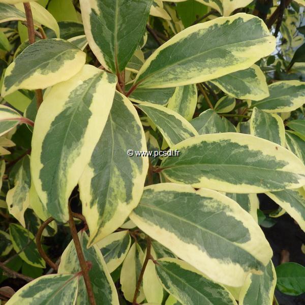 Kadsura japonica \'Variegata\' 40/60 C4L