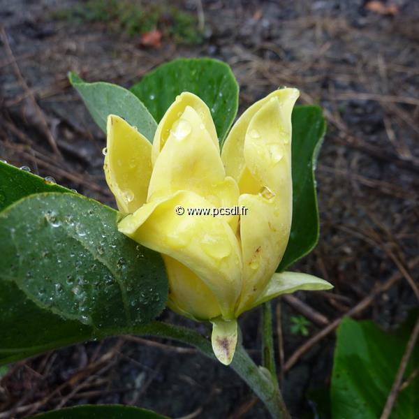 Magnolia acuminata \'Koban Dori\' 60/80 C4L