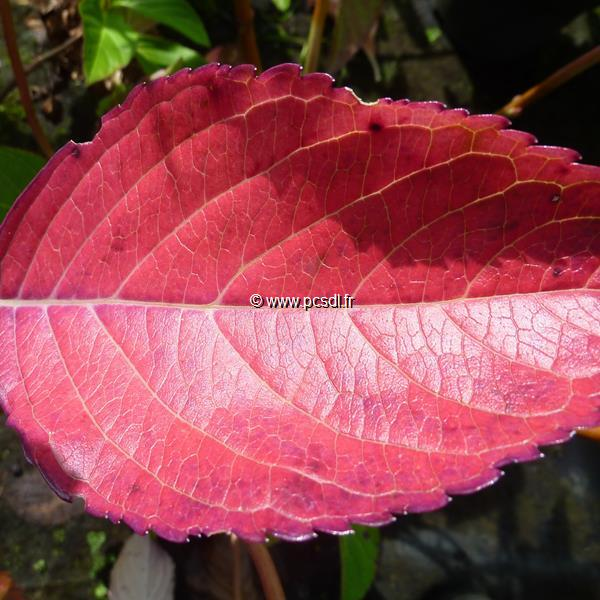 Hydrangea macrophylla \'Telenn\' 20/40 C3L