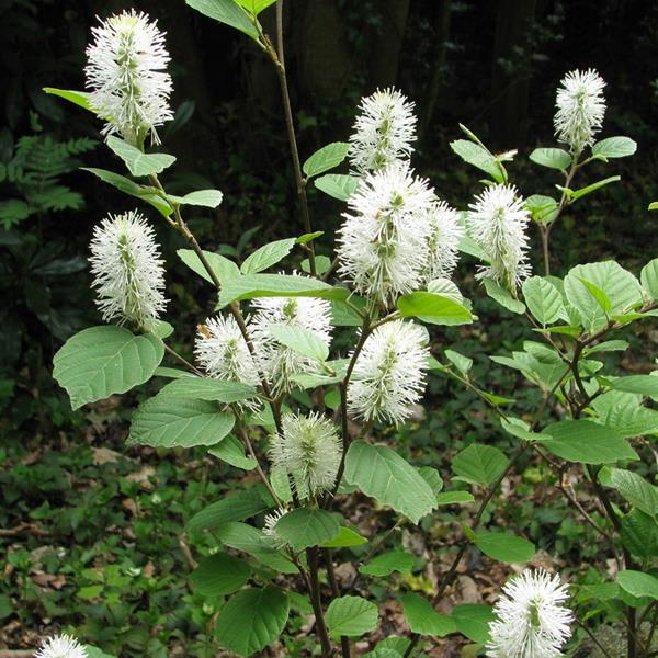 Fothergilla major C4L 40/80