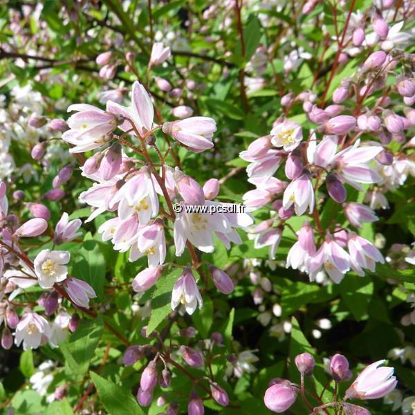 Deutzia gracilis \'Yuki Cherry Blossom\' ® C4L 30/40
