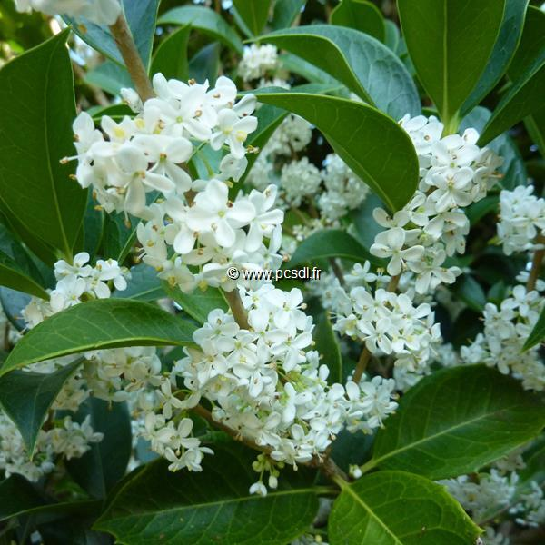 Osmanthus fortunei (3)