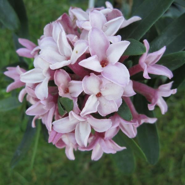 Daphne x transatlantica \'Pink Fragrance\' ® C3L 20/30