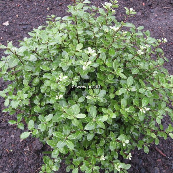 Pittosporum tenuifolium \'Golf Ball\' ® C4L 20/30