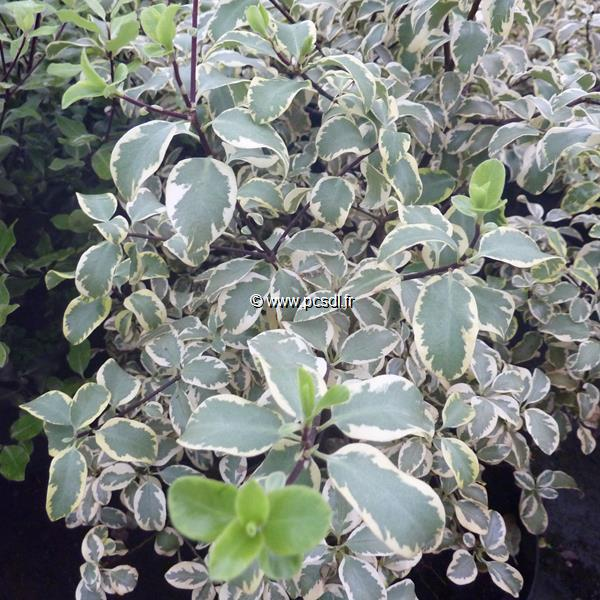 Pittosporum tenuifolium \'Wendle Channon\' C4L 40/60