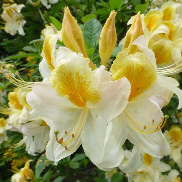 Rhododendron (azalée caduque) \'Toucan\' C5L 60/80