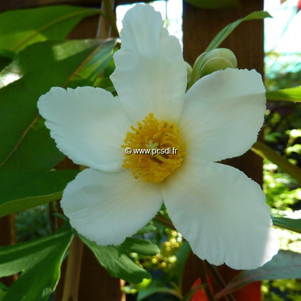 Gordlinia grandiflora (1)