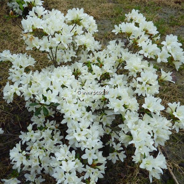 Rhododendron (azalée persistante) \'Snow\' 40/50 C7L