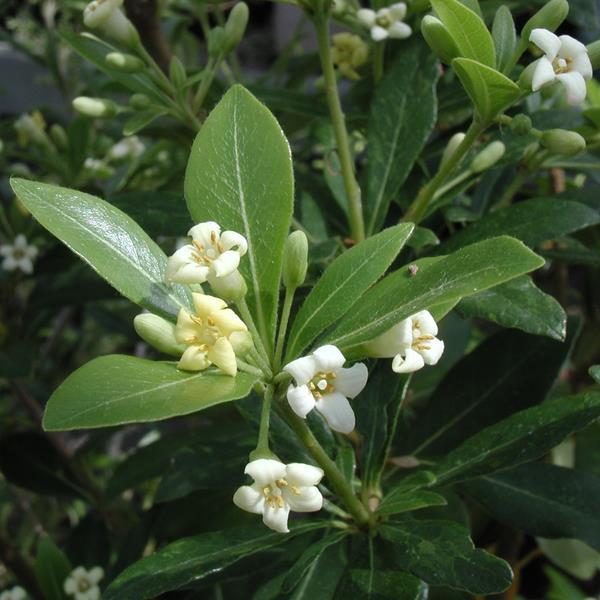 Pittosporum heterophyllum C4L 40/60