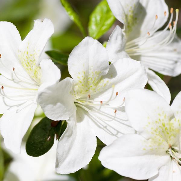 Rhododendron (azalée persistante) \'Palestrina\' C2L 30/40