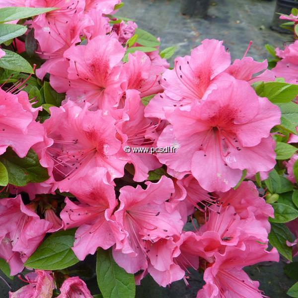 Rhododendron (azalée persistante) \'Vuyck\'s Rosyred\' C15L 40/60