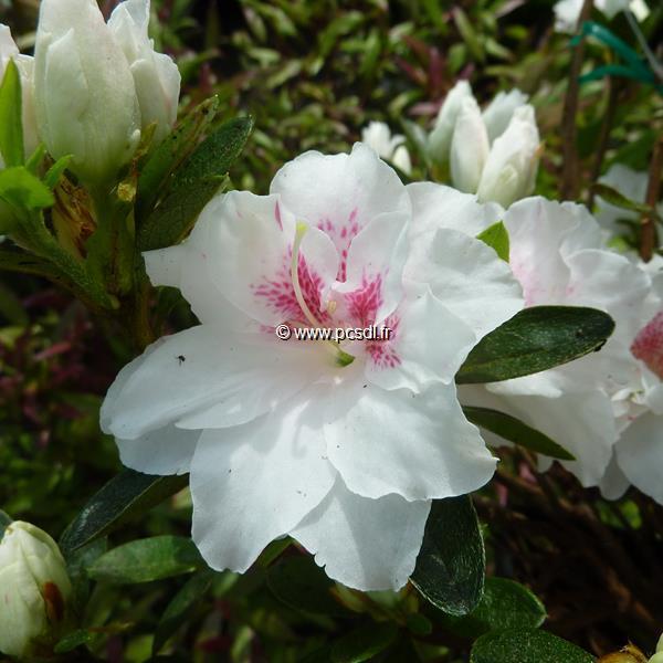 Rhododendron (azalée persistante) \'White Prince\' C7L 40/60