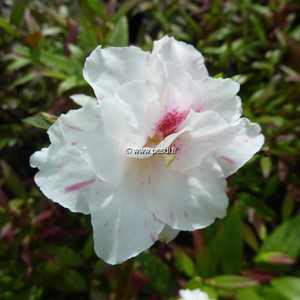 Rhododendron (azalée persistante) \'White Prince\'
