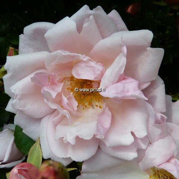 Rosa \'Albertine\' 40/60 C4L