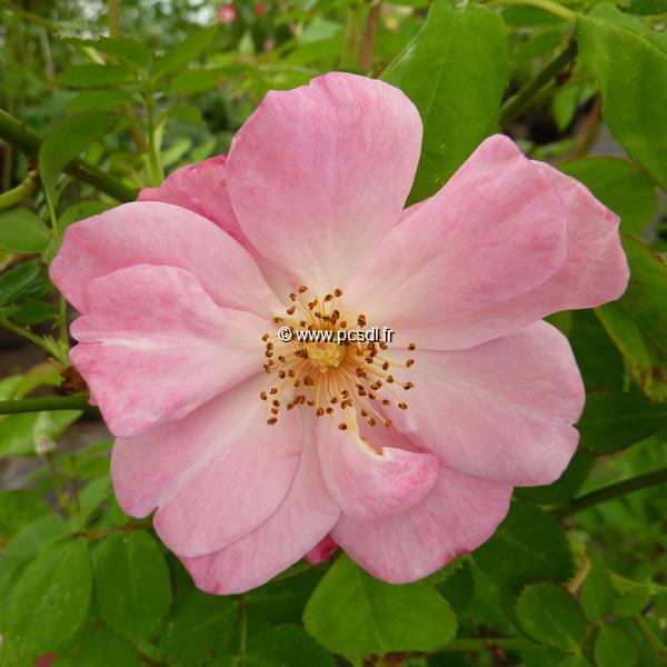 Rosa \'Clair Matin\' ® C4L 40/60