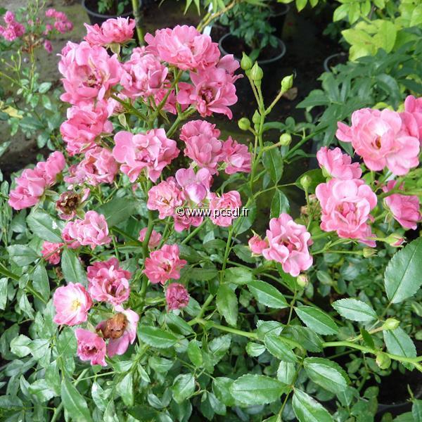 Rosa \'Fairy Rose\' C4L 30/40