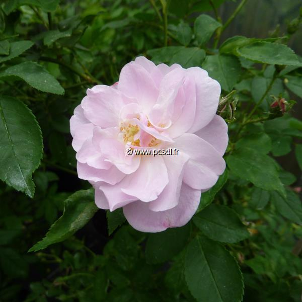 Rosa \'Narrow Water\' C4L 40/60