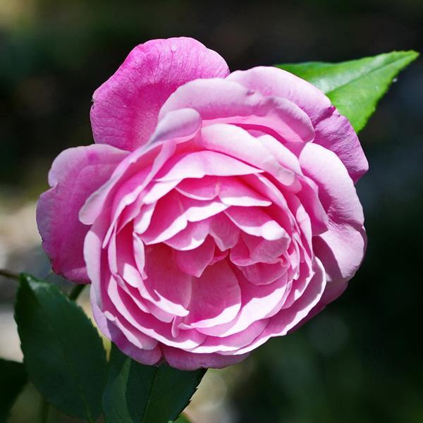 Rosa \'Old Blush\' C5L 40/60