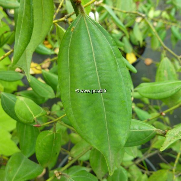 Lindera strychnifolia C7L 40/60