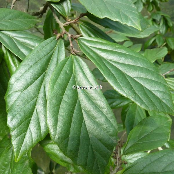 Sycoparrotia semidecidua C7L 125/150