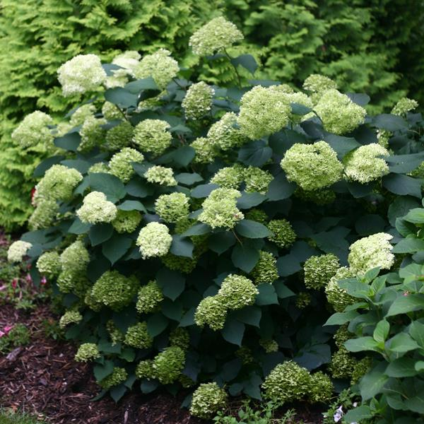 Hydrangea arborescens \'Lime Rickey\' ® C15L 60/80